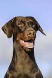 Doberman dog portrait Royalty Free Stock Photography
