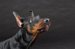 Doberman dog portrait on black Royalty Free Stock Photo