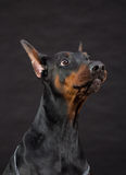Doberman dog portrait on black Stock Photos