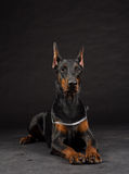 Doberman dog portrait on black Stock Image