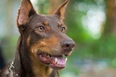 Doberman dog. Portrait brown animal Royalty Free Stock Photography