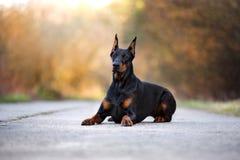 Doberman dog posing outdoors Royalty Free Stock Photo