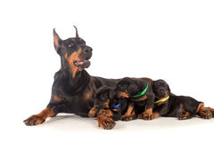 Doberman dog with puppies Royalty Free Stock Images