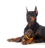 Doberman dog with puppy Royalty Free Stock Photos