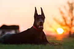 Doberman dog puppy Royalty Free Stock Photo
