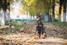 Doberman dog puppy Royalty Free Stock Images