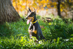 Doberman dog puppy Stock Image