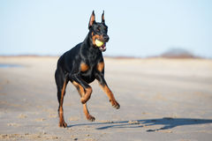 Doberman dog running on the beach Royalty Free Stock Photo