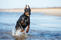 Doberman dog running on the beach Stock Images