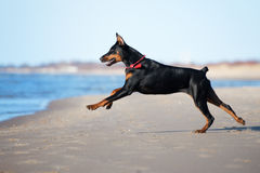 Doberman dog running on a beach Royalty Free Stock Images