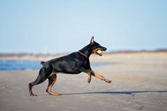 Doberman dog running on a beach Stock Images