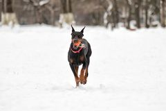 Doberman dog runs. Through the snow in the winter Stock Photography