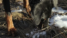 Doberman dog sniffs the ground running takes trail hunting close-up stock footage