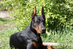 Doberman dog on summer meadow Stock Image
