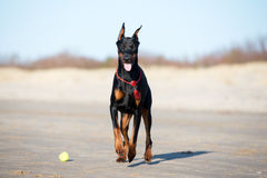 Doberman dog walking on a beach Royalty Free Stock Images