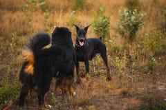 Doberman för två hundkapplöpning och bernese herde som går på ett fält arkivbild