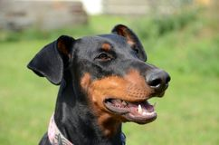 Doberman. Face portrait with natural ears Royalty Free Stock Photos