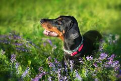 Doberman in flowers. Doberman portrait close up in  violet flowers stock photos