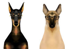 Doberman and german shepherd dog in glasses  on white background Stock Images