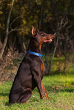 Doberman in green grass Royalty Free Stock Image