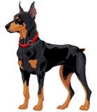 Doberman guard dog. Illustration of fully concentrated guard dog Doberman Stock Photo