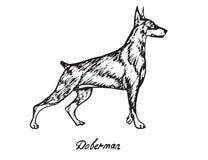 Doberman. Hand drawn doodle, sketch in pop art style, vector, Doberman Stock Photos