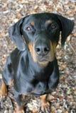 Doberman. Head of a black-brown Doberman looks directly into the camera Stock Image