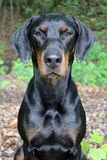 Doberman. Head of a black-brown Doberman looks directly into the camera Royalty Free Stock Photo