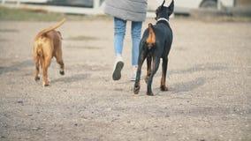 Doberman i boksera psy zbiory