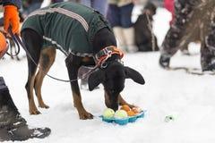 Doberman i gatan i vinter fotografering för bildbyråer