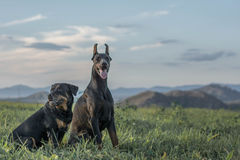 Doberman i Rottweiler Fotografia Stock