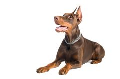 Doberman isolated over white Stock Photo