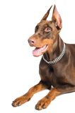 Doberman isolated over white Royalty Free Stock Image