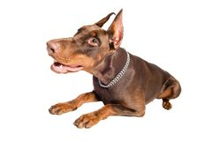 Doberman isolated over white Stock Images