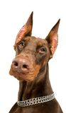 Doberman isolated over white Stock Photography