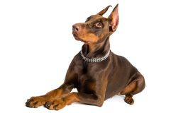 Doberman isolated over white Royalty Free Stock Images