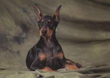 Doberman joven Imagenes de archivo