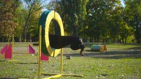 Doberman jumping at ring on agility training