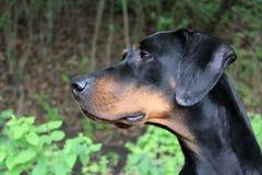 Doberman. A lateral head of a black-brown Doberman Royalty Free Stock Photos