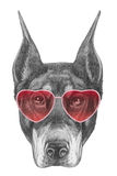 Doberman in Love! Portrait of Doberman Pinscher with sunglasses. Royalty Free Stock Image