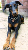 Doberman. My Dog is girl Doberman Stock Image