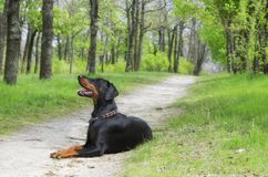 Doberman: my real best friend forever royalty free stock photos