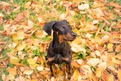 Doberman obediente del purasangre del perrito Fotos de archivo libres de regalías