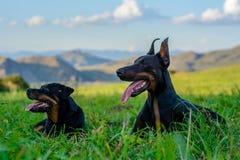 Doberman och Rottweiler arkivbilder