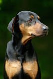 Doberman orgulhoso Foto de Stock Royalty Free