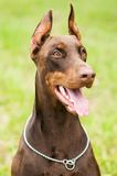 Doberman outdoors Stock Image