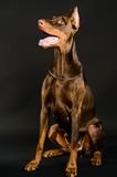 Doberman over black Royalty Free Stock Photos