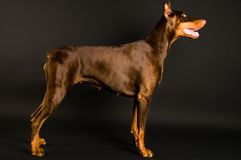 Doberman over black Stock Photography
