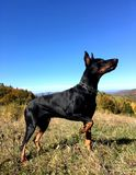 Doberman pincher, autumn in the mountains, a mountainous landscape on the background of a blue sky. Doberman pincher, autumn in the mountains,  a mountainous royalty free stock image