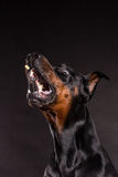 Doberman pincher on black background. Royalty Free Stock Images